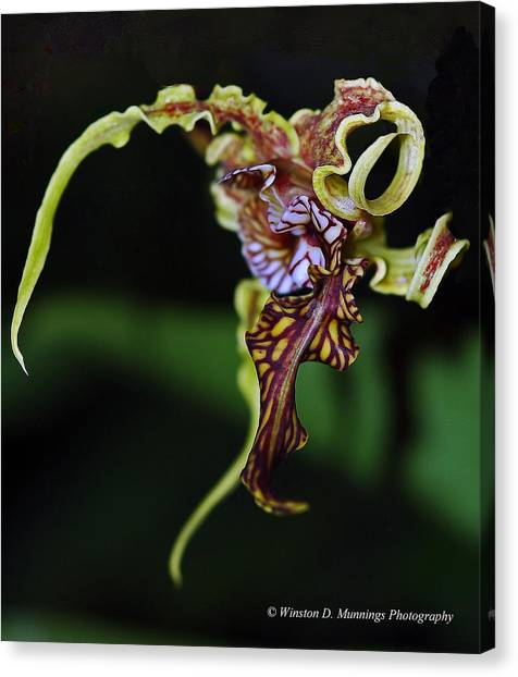 Dendrobium Spectabile Canvas Print