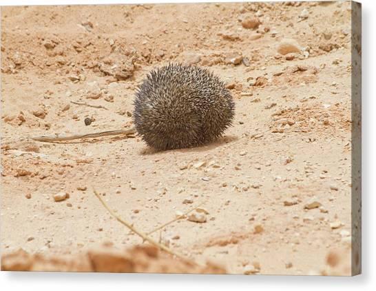 Negev Desert Canvas Print - Desert Hedgehog (paraechinus Aethiopicus) by Photostock-israel
