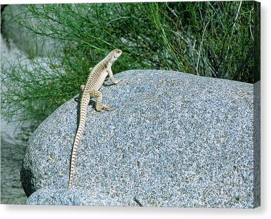 Iguanas Canvas Print - Desert Iguana (dipsosaurus Dorsalis) On A Rock by William Ervin/science Photo Library