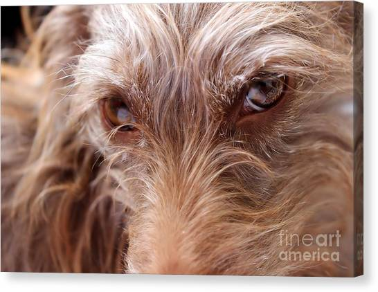 Dog Stare Canvas Print