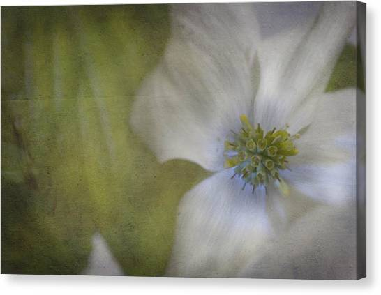 Dogwood Canvas Print by Cindy Rubin