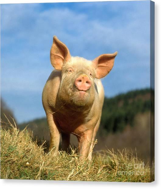 Pig Farms Canvas Print - Domestic Pig by Hans Reinhard