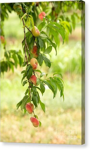 Peaches Canvas Print - Donut Peaches by Iris Richardson