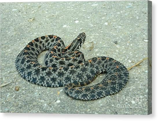 Pigmy Canvas Print - Dusky Pigmy Rattlesnake by John Serrao