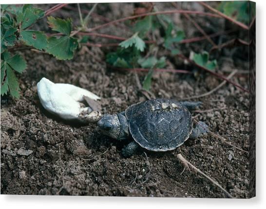 Box Turtles Canvas Print - Eastern Box Turtle Hatchling by Paul J. Fusco