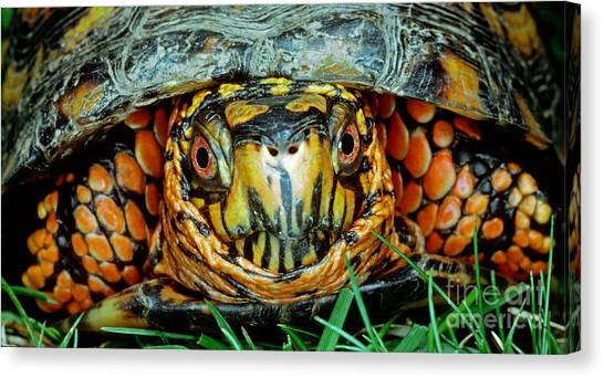 Box Turtles Canvas Print - Eastern Box Turtle by Millard H. Sharp