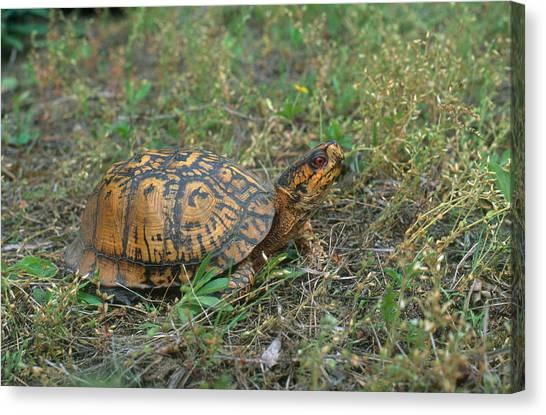 Box Turtles Canvas Print - Eastern Box Turtle by Paul J. Fusco