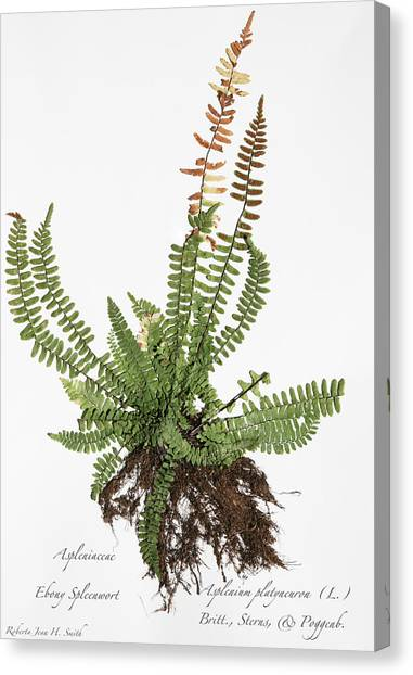 Ebony spleenwort for sale