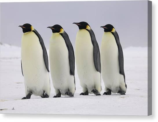 Aptenodytes Forsteri Canvas Print - Emperor Penguins Walking Antarctica by Frederique Olivier