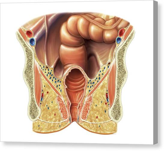 Anal Sphincter Canvas Prints Fine Art America