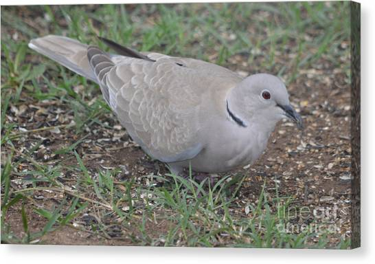 Eurasian Collared Dove  Canvas Print by Ruth  Housley