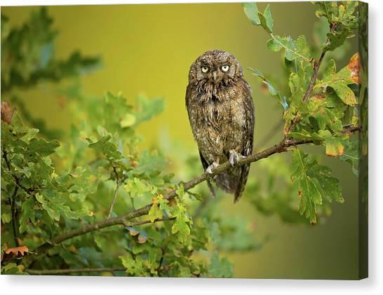 Oak Trees Canvas Print - Eurasian Scops Owl by Milan Zygmunt
