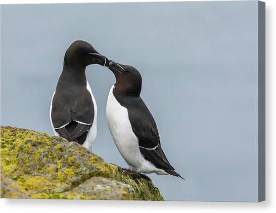 Razorbills Canvas Print - Europe, Iceland, Latrabjarg by Jaynes Gallery