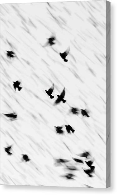 Starlings Canvas Print - European Starling Flock by Manuel Presti/science Photo Library