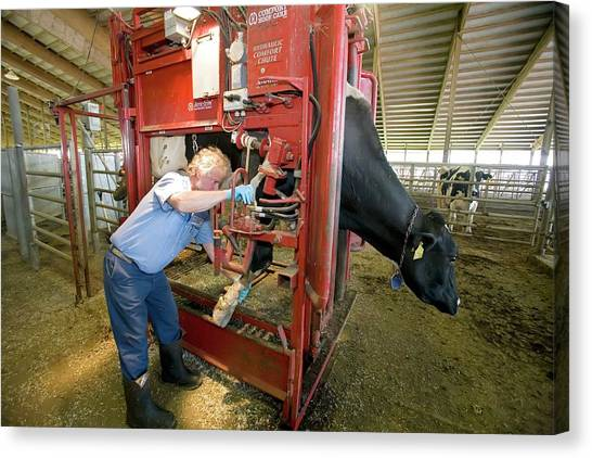 Farmer Checking A Cow's Hoof Canvas Print by Jim West
