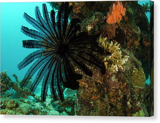 Feather Star (comasteridae Canvas Print by Pete Oxford