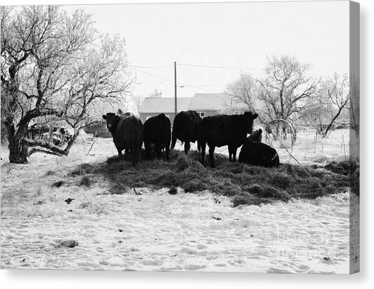 Harsh Conditions Canvas Print - feed and fresh grass laid out for cows on winter farmland Forget Saskatchewan Canada by Joe Fox