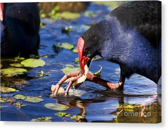 Stuffing Canvas Print - Feeding Red Billed Coot Bird by Jorgo Photography - Wall Art Gallery