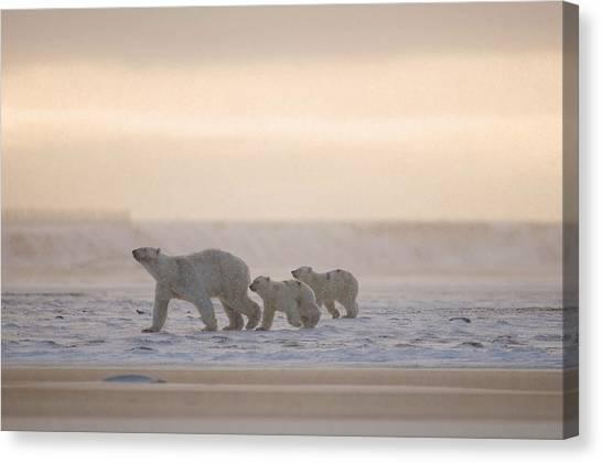 Bears Canvas Print - Female Polar Bear With A Pair Of Cubs by Steven Kazlowski