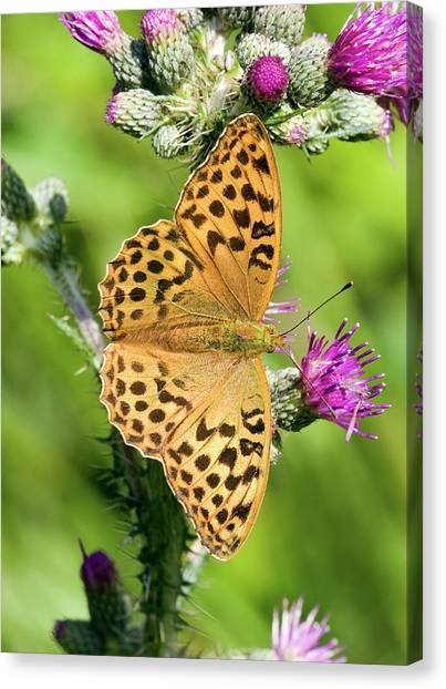 Female Silver-washed Fritillary Canvas Print by John Devries/science Photo Library