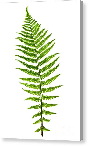 Shapes Canvas Print - Fern Leaf by Elena Elisseeva