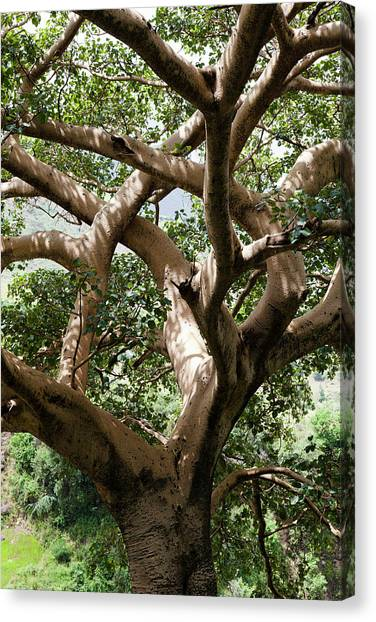 Big East Canvas Print - Fig Tree Near The Escarpment by Martin Zwick