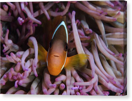 Anemonefish Canvas Print - Fiji Anemone Fish (amphiprion Barberi by Pete Oxford