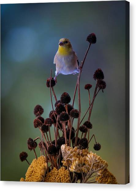 Finch Canvas Print by Bruce Brooks