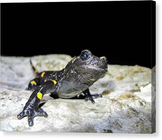 Salamanders Canvas Print - Fire Salamander (salamandra Salamandra) by Photostock-israel