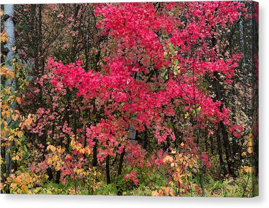Teton National Forest Canvas Print - Flaming Maple by Kathleen Bishop