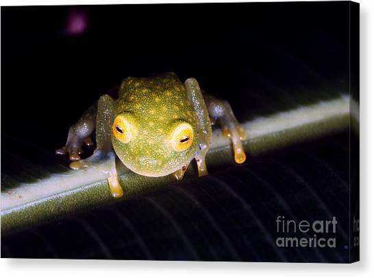 Monteverde Canvas Print - Fleischmanns Glass Frog by Gregory G. Dimijian