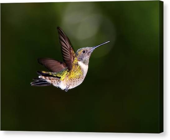 Flight Of A Hummingbird Canvas Print