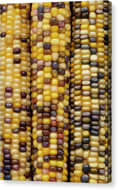 Indian Corn Canvas Print - Flint Corn by Science Photo Library