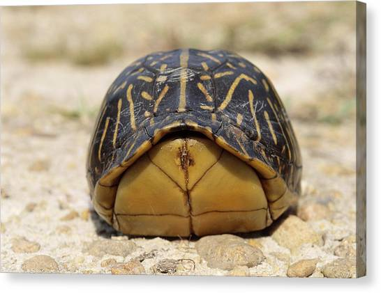 Box Turtles Canvas Print - Florida Box Turtle by Karl H. Switak