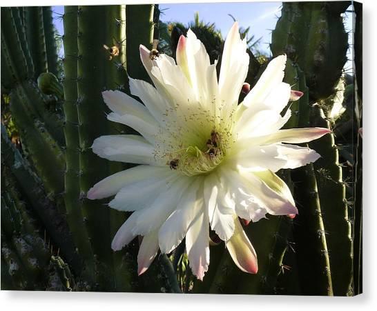 Flowering Cactus 1 Canvas Print