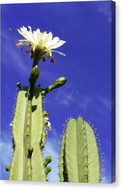 Flowering Cactus 2 Canvas Print