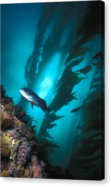 Kelp Forest Canvas Print - Forest Of Giant Kelp by Greg Ochocki