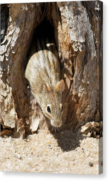 Kalahari Desert Canvas Print - Four Striped Grass Mouse by Tony Camacho
