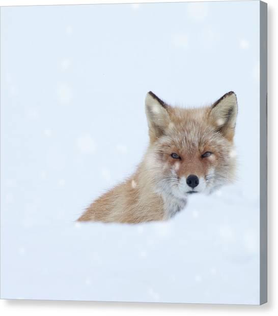 Fox In Snow Field Canvas Print