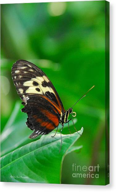 D5l15 Butterfly At Franklin Park Conservatory Canvas Print