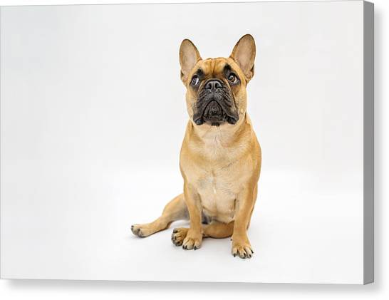 French Bulldog Canvas Print by Mrs