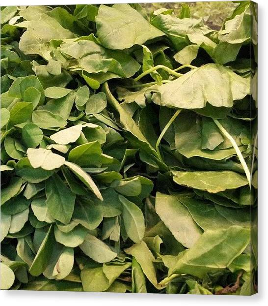 Spinach Canvas Print - #fresh #vegetable #shopping #food by Vijay Patel