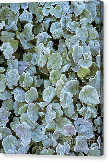 Frost On Epimedium Leaves. Canvas Print by Geoff Kidd