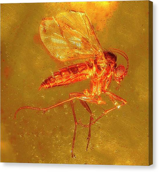 Fungus Gnat In Amber Canvas Print by Alfred Pasieka/science Photo Library