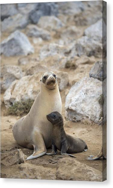 Galapagos Canvas Print - Galapagos Sea Lion And Pup Champion by Tui De Roy