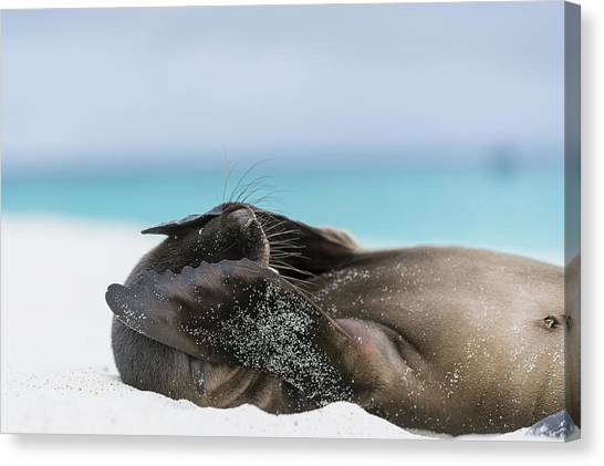 Flipper Canvas Print - Galapagos Sea Lion Pup Covering Face by Tui De Roy