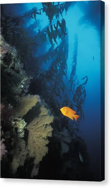 Kelp Forest Canvas Print - Garibaldi In Kelp by Greg Ochocki