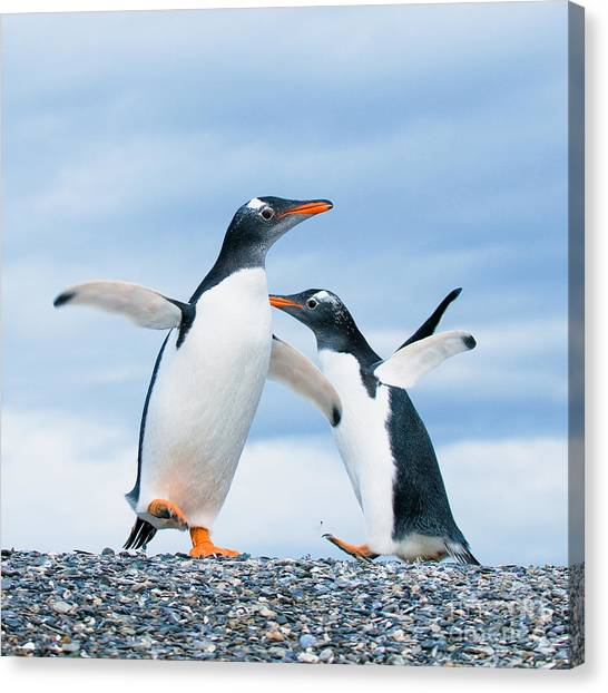 Penguins Canvas Print - Gentoo Penguins by Konstantin Kalishko