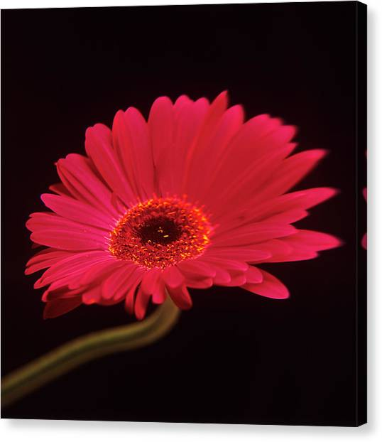 Gerbera Flower Canvas Print by Mark Thomas/science Photo Library