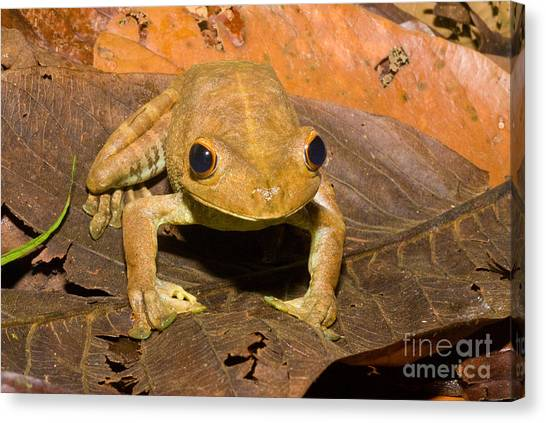 Amazon River Canvas Print - Giant Gladiator Frog by William H. Mullins
